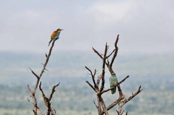 European Bee-eater & European Roller