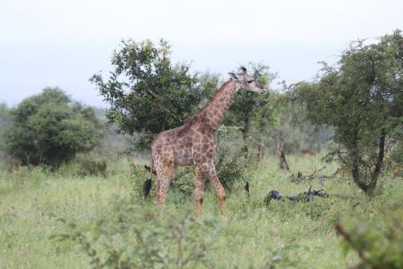 Giraffe - hobbling youngster