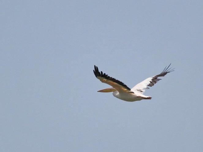 Great White Pelican in flight