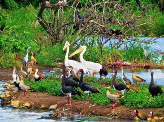 Great White Pelicans amongst friends