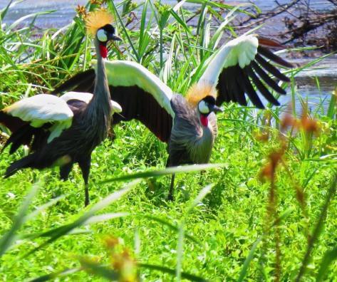 Grey Crowned Cranes in display