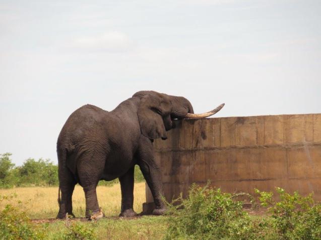 Thirsty Elephant at Tihongonyeni waterhole