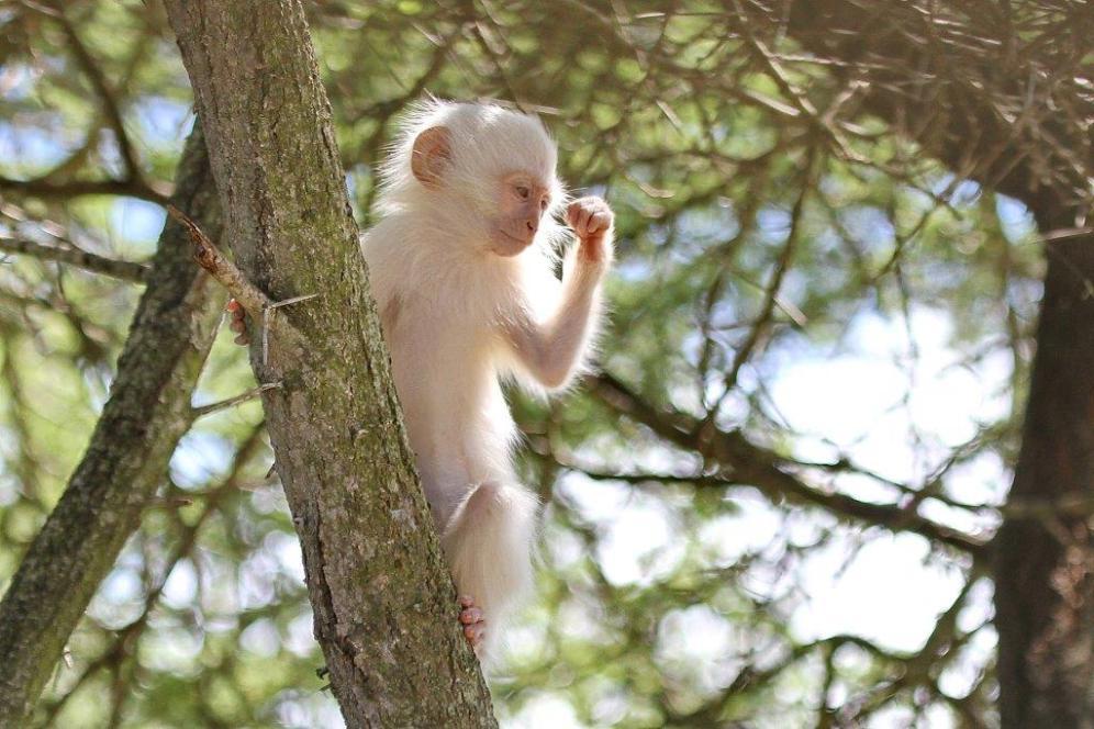 Vervet Monkey - power to de nu people