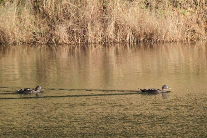African Black Ducks