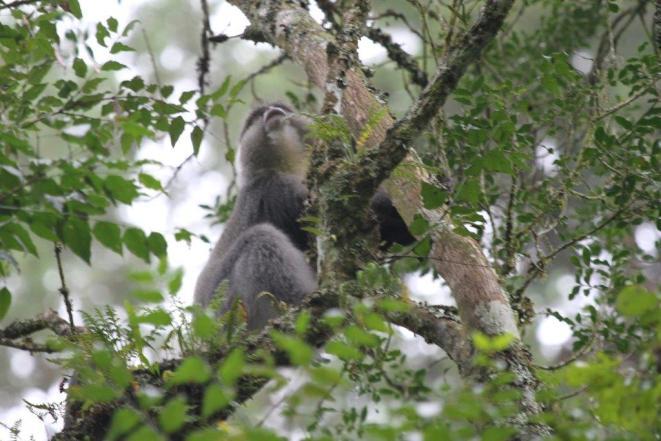 Samango Monkey - Big Daddy