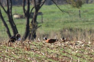 South African Shelduck - female