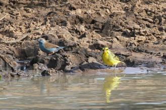 Blue Waxbill & Yellow-fronted Canary