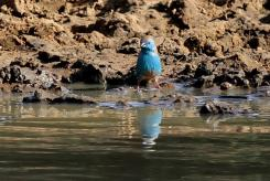 Very blue Blue Waxbill