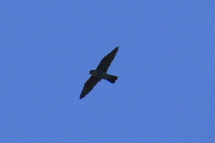 Possible Lanner Falcon