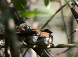 Red-backed Mannikins