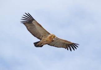 Cape Vulture (1)