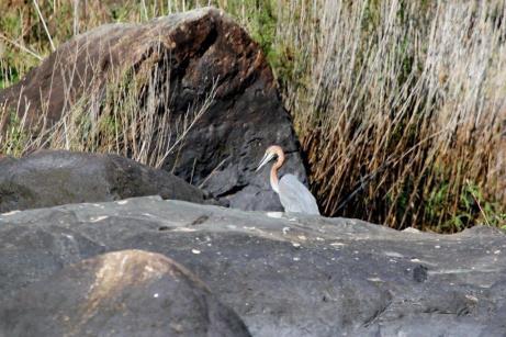 Goliath Heron
