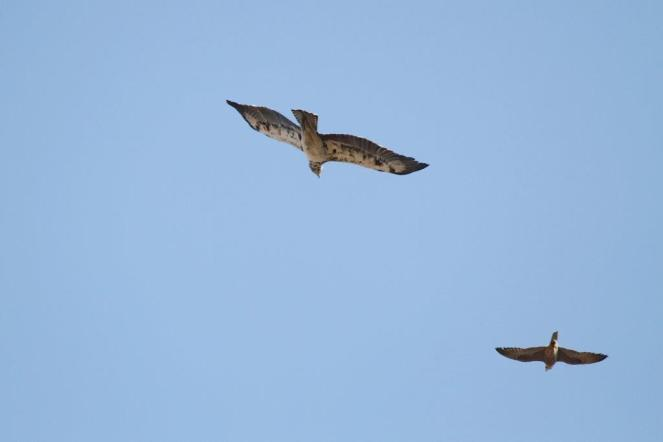 Martial Eagle being attacked by Lanner Falcon 1