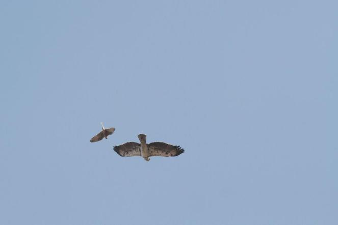 Martial Eagle being attacked by Lanner Falcon 9