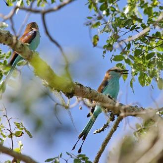 Racket-tailed Rollers