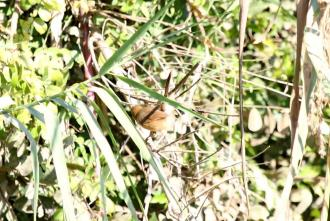 Red-faced Cisticola