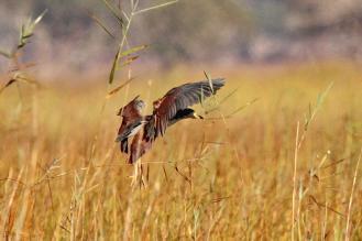 Rufous-bellied Heron