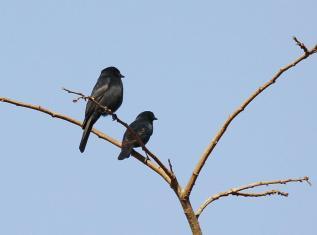 Southern Black Flycatchers