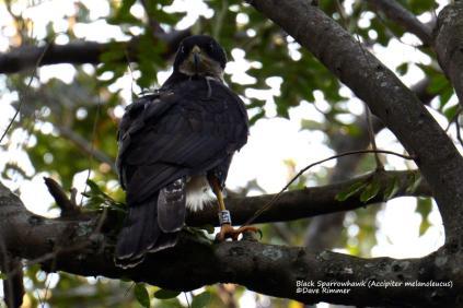 Black Sparrowhawk- ringed