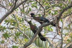 Purple Crested Turacos