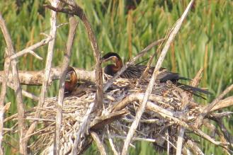 African Darter on nest