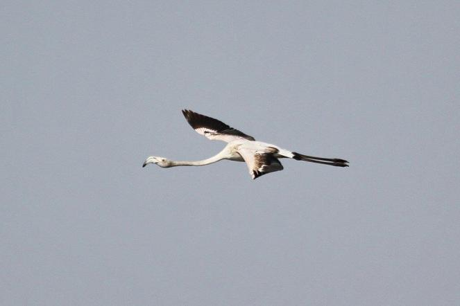 Greater Flamingo in flight