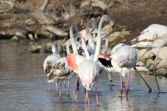 Greater Flamingos looking startled