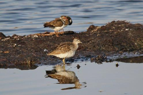 Wood Sandpiper & Three-banded Plovers
