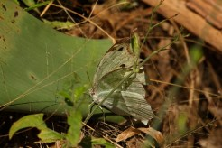 Tatty Common Mother-of-Pearl