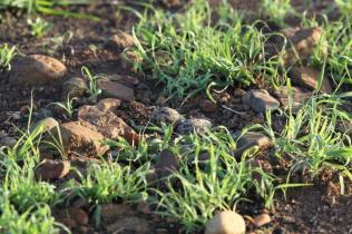 Crowned Lapwing eggs