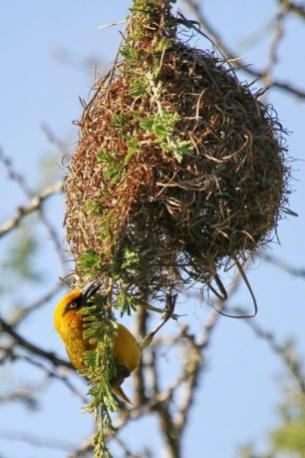Spectacled Weaver.