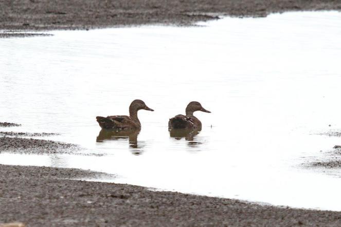 African Black Ducks at Sunset Dam, Lower Sabie