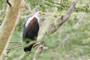 African Fish-Eagle
