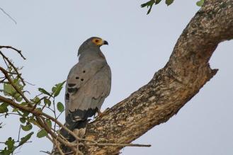 African Harrier-Hawk - adult