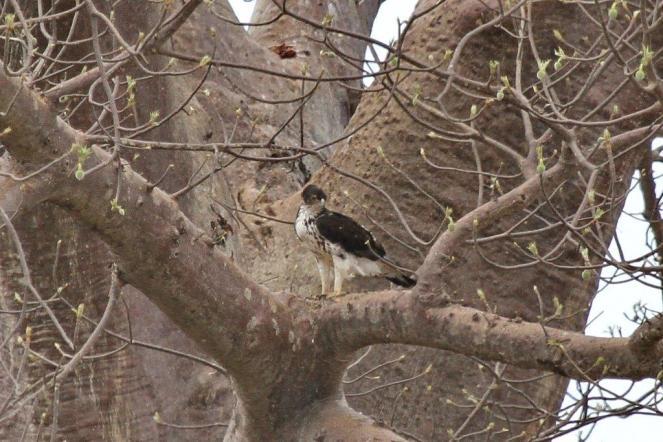 African Hawk-Eagle - parent