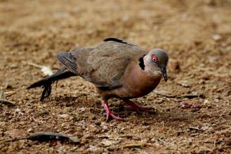 African Mourning Dove - dark form