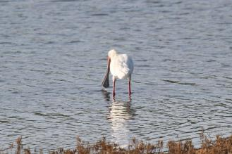"""African Spoonbill - shows why the bird is called a """"Spoon""""bill"""