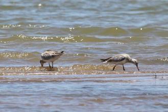 Bar-tailed Godwits - a pair