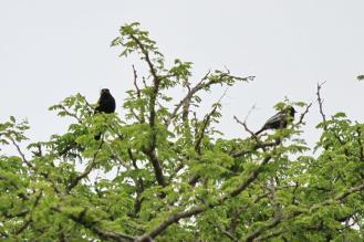 Black Cuckooshrike - male and Southern Black Tit