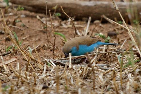 Blue Waxbill with red beak