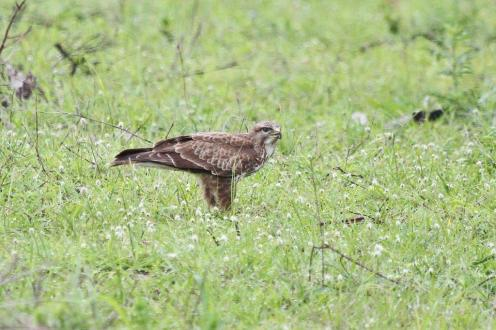 7 Booted Eagle - Western Shores, Isimangaliso