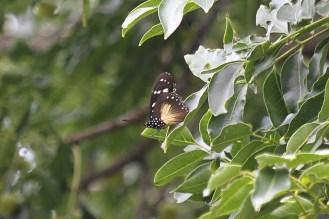 Butterfly - Acrea?