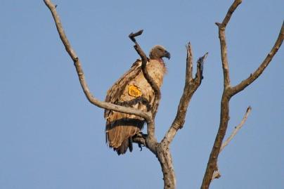 Cape Vulture -tagged
