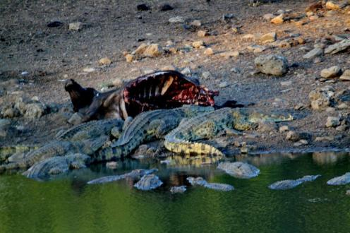Crocodiles with Buffalo carcass