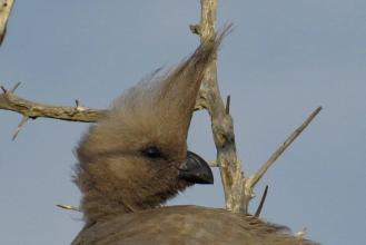 Grey Go-away-bird. Head