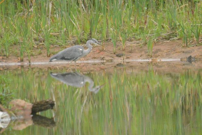 Grey Heron - juvenile - Decklan