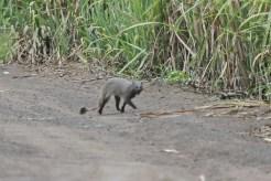 Grey Mongoose