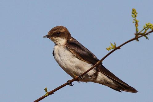 Grey-rumped Swallow