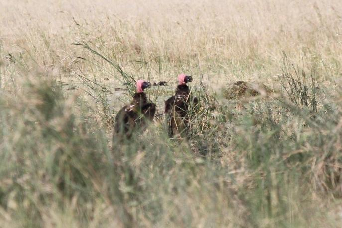 Lappet-faced Vultures - loved the colour of the head gear