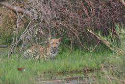 Leopard - Lake Panic
